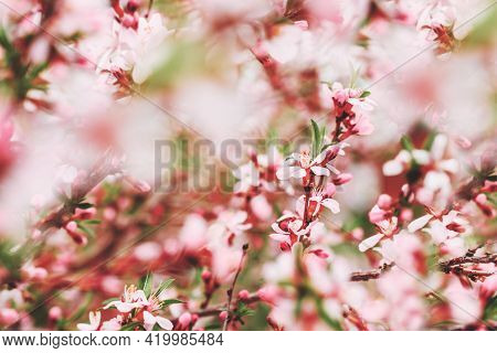 Blooming Branches With Pink Flowers. Close-up. Blooming Pink Almond Bush. Spring Background. Pink Fl
