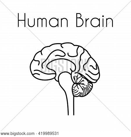 Human Brain Linear Medical Icon With Text. Vector Illustration Of Brain Anatomy. Cross Section Image