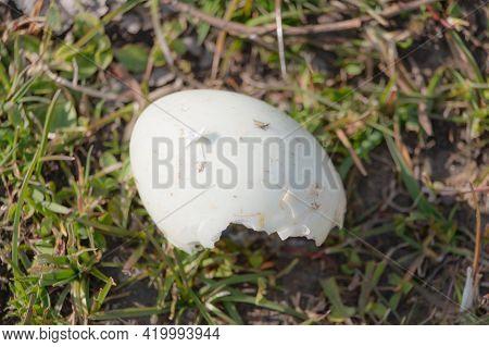 Hatched Greylag Goose Egg On A Grass. In Scandinavia Denmark