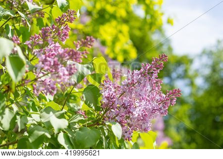 Bunch Of Violet Lilac Flower In Sunny Spring Day .natural Blooming Fresh Pink Lilac Bush Flowers On