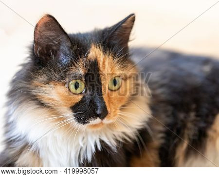 Beautiful Three-color Orange-black-and-white Long-hair Young Cat Close Up.