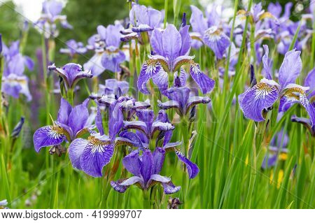 Iris Sibirica Plants From Botanical Garden For Catalog. Natural Lighting Effects. Selective Focus. F