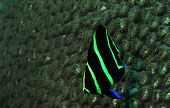 Juvenile French angelfish underwater in ocean near coral poster