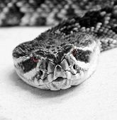 This is a black and white Image I shot of an Eastern Diamondback Rattlesnake if you look closely he has red eyes poster