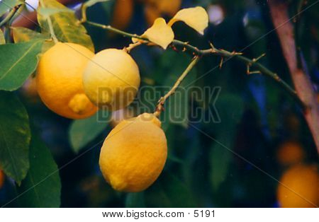 Lemons In A Tree