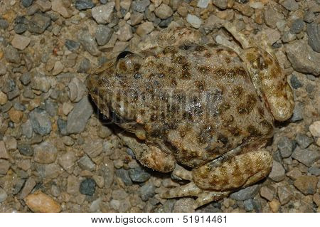 Toad (alytes Obstetricans)