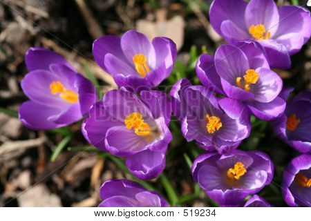 Spring Crocuses Closeup