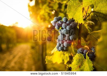 Grape in the vineyard.