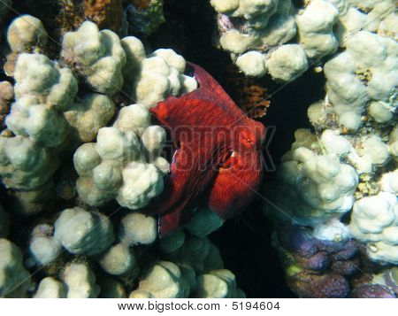 Octopus And Coral Reef