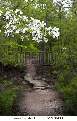 Dogwood Tree Along A Wooded Arkansas Trail