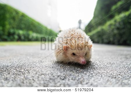 Hedgehog in a park