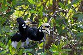 Oriental Pied Hornbill in the jungle in Borneo poster