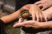 Child Picking up Baby Duck from Parents Hands poster