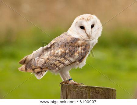 Profile of Barn Owl