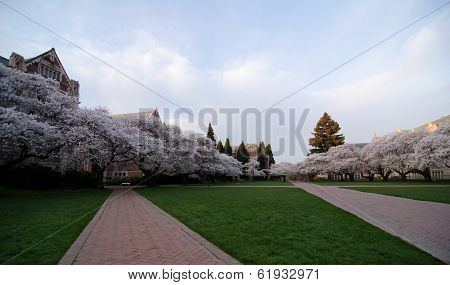 Uw Campus Central Square At The Middle Of Cherry Blossom