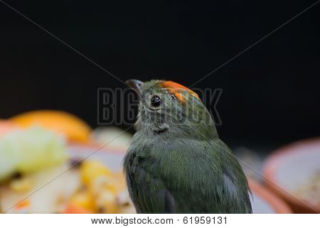 Blue-backed Manakin (chiroxiphia Pareola)