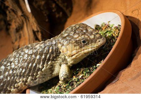 Bobtail Lizard (tiliqua Rugosa)