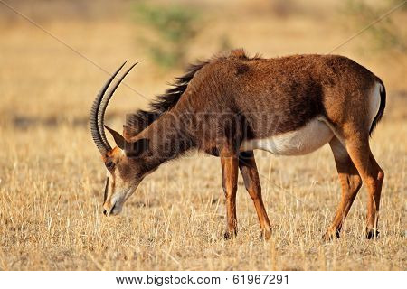 Female sable antelope (Hippotragus niger), South Africa
