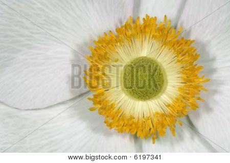 Yellow-white Blossom Inside