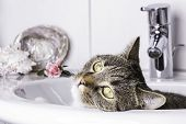 tiger cat looking out of a sink poster