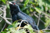 male Asian Koel Eudynamys scolopacea sitting in dense bush poster