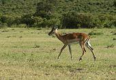 Afrikanskfy Grant's gazelle in their natural habitat. Kenya. poster