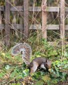 Grey Squirrel foraging for food on the ground poster