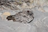 Although widespread across the western United States the Common Poorwill (Phalaenoptilus nuttallii) is active only at night and rarely seen or photographed poster