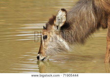 Waterbuck - African Wildlife Background - Golden Ripples of Life