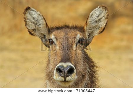 Waterbuck - African Wildlife Background - Heart-shaped nose and Beautiful Innocence