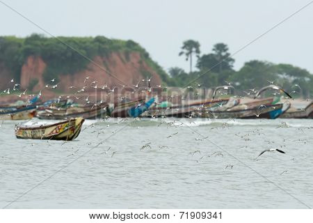 A Flock Of Sanderlings Flying In Front Of An Colorful African Fishing Fleet