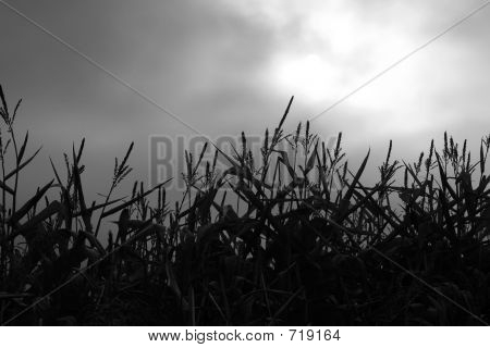 Midnight Corn