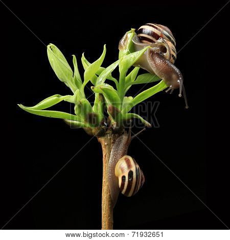 two snails on green budding leaves