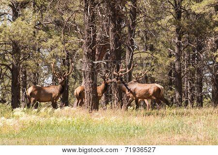 a pair of bull elk in velvet in the trees poster