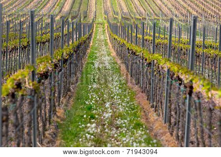 Rows of vine, Pfalz, Germany