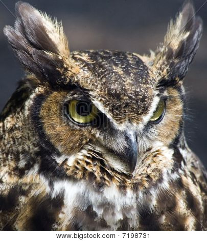 Closeup portrait of a great horned owl. poster
