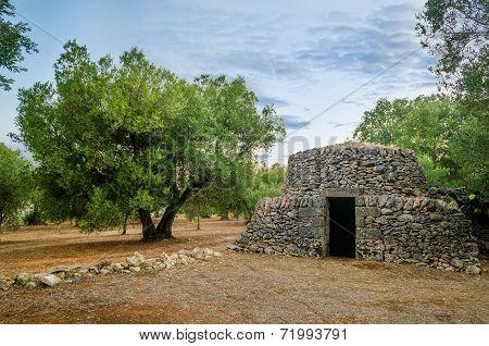 Puglia, Old Trullo And Olive Tree