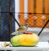 Streak-eared Bubul bird (Pycnonotus blanfordo) on fruit poster