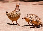 Family of Crested Francolin looking for food on the ground in the sunshine poster