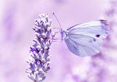 Gentle butterfly with light purple wings sitting on lavender flower, detail of flora and fauna, amazing wild nature concept poster