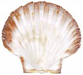Mussel and shell isolated over white background poster