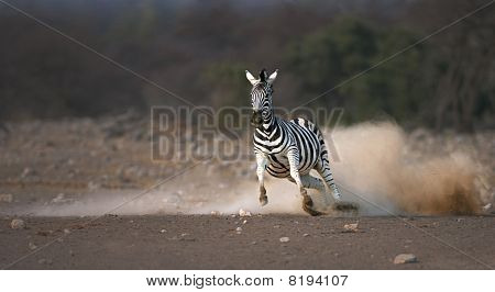 Frightened zebra running and leaving a dust trail ; Etosha poster