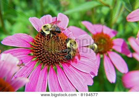 Bees on Daisy