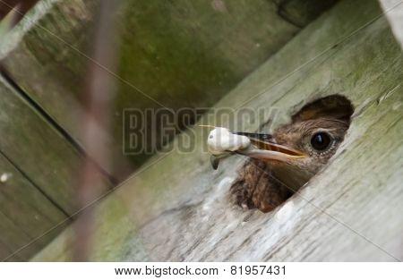 House Wren (troglodytes Aedon) In Soft Focus
