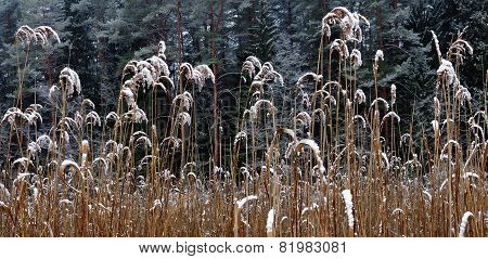 Reeds Covered With Snow
