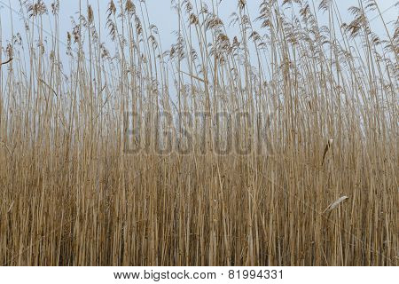 Reed field background