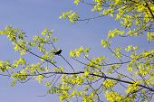 A blackbird is perched on a branch covered with new leaves, it's spring, so sing bird! poster
