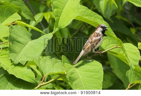 House Sparrow Panting while Perched on Watercress Leaves.