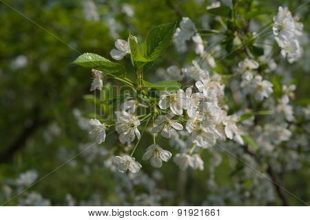 April Blossoming Cherry Tree With White Blossoms And Green Leaves