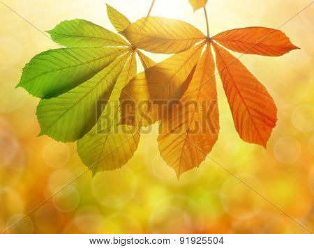 Autumn leaves of chestnut tree (Aesculus hippocastanum) on natural blurred background